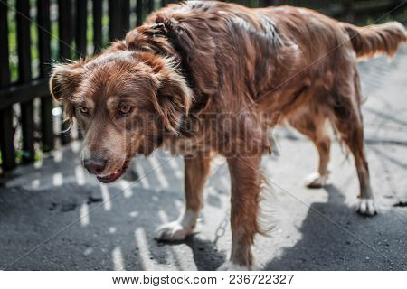 Portrait Of Young Chained Brown Or Red Dog Standing And Guarding An Old Village Yard With Old Wooden