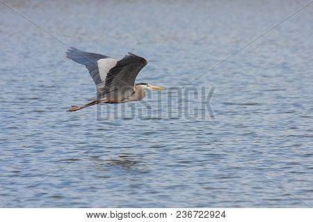 Like A Dart Flies Through The Open Air, A Great Blue Heron Glides Just Above  Blue Lake Water.  The
