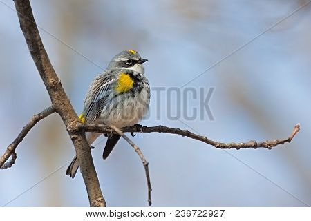 On A Chilly Morning, A Yellow-rumped Warbler Fluffs Its Feathers To Create A Warm Blanket For Itself