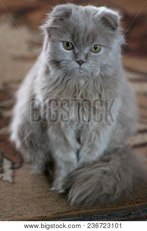 The British cat or, as it is affectionately called, `teddy bear`, is a breed bred in the UK.
