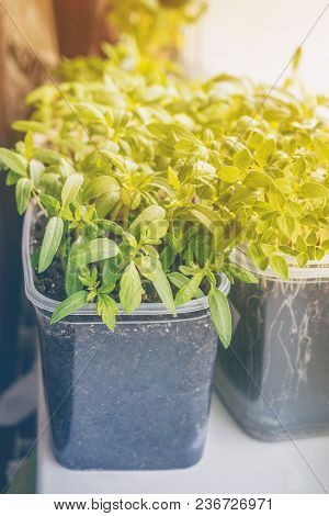 Seedlings Of Eggplants, Tomatoes And Sweet Peppers For The Urban Garden And Garden Grow In A Plastic