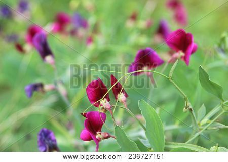 Flower Background, Pink And Purple Vetches, Close-up