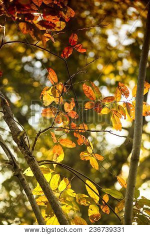 Colorful Fall Leaves Backlit By Direct Sunlight.