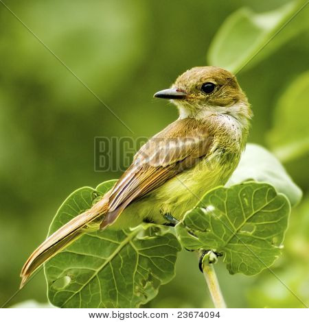 Galapagos Finch Bird