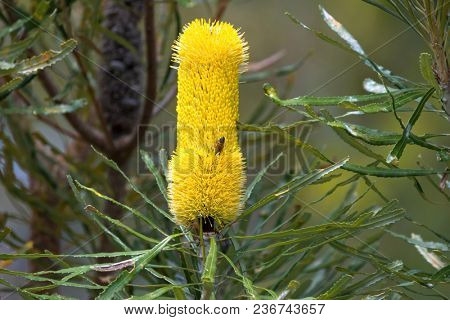 Yellow flower spikes of Coast Banksia, also called Slender Banksia, Candlestick Banksia growing in Western Australia (Banksia attenuata)