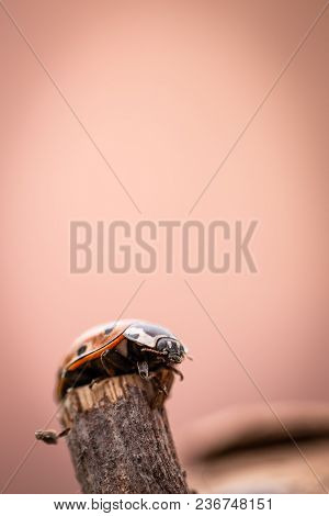 Detail Of Orange Ladybug On Old Worn Piece Of Wood