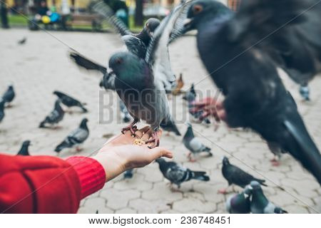 First-person View. Doves Eat Seed From Person Hand