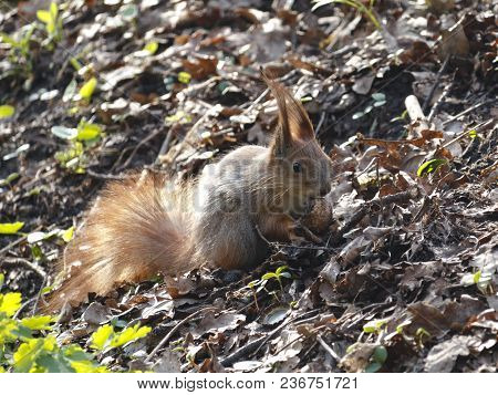Squirrel Eating Nut. Smal Funny Squirrel Sitting On Ground And Holding And Eating Nut.