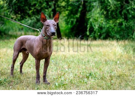 Close Up Portrait One Mexican Hairless Dog (xoloitzcuintle, Xolo) In Full Growth In A Collar, Walkin