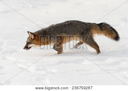 Grey Fox (urocyon Cinereoargenteus) Stalks Left Head Down - Captive Animal