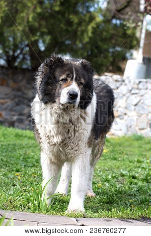 Adult Caucasian Shepherd Dog In The Yard. Caucasian Sheepdog In Sprig Time
