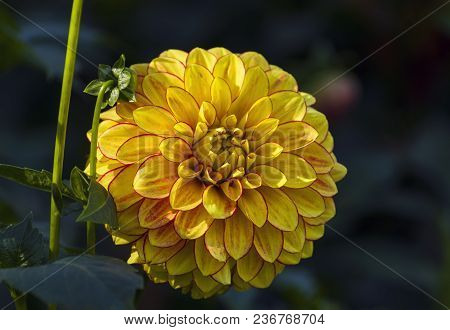 Bright Yellow-red Dahlia On A Dark Background. Sunny Day In September.