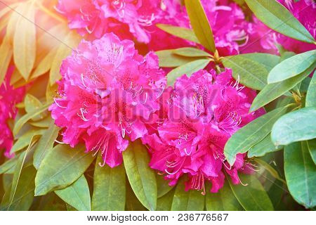 Blooming Pink Oleander Flowers Or Nerium In Garden. Blossom Spring, Exotic Summer