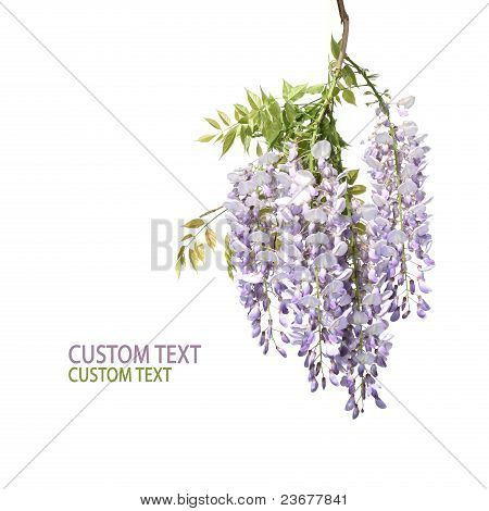Branch Of Wisteria Tree