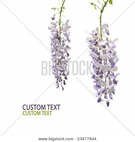 Wisteria Tree Flowers