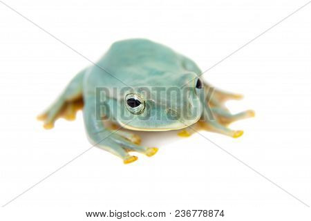 Giant Feae Flying Tree Frog, Rhacophorus Feae, Isolated On White Background