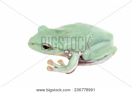 Giant Denny's Whipping Frog Isolated On White