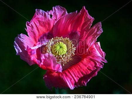 Oriental poppy flower photographed with a specialty lens to produce shallow depth of field and a soft creamy background.