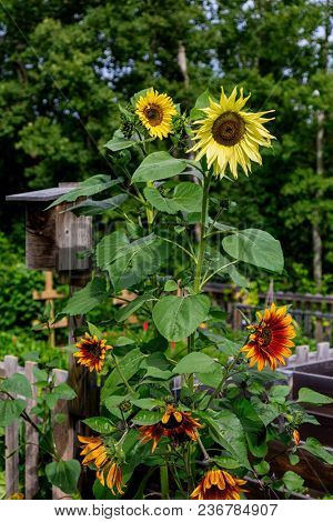 Sunflowers and a birdhouse in a country garden.