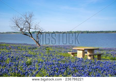 Picnic Table Surrounded By Blooming Texas Bluebonnet Flowers By A Lake In Springtime. Lonely Tree An