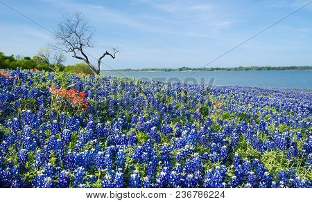 Texas Bluebonnets With A Patch Of Indian Paintbrush Flowers Blooming On The Meadow By A Lake In Spri