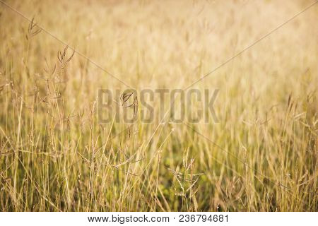 Soft Focus On Grass With Sunlight For Background. Selective Focus.