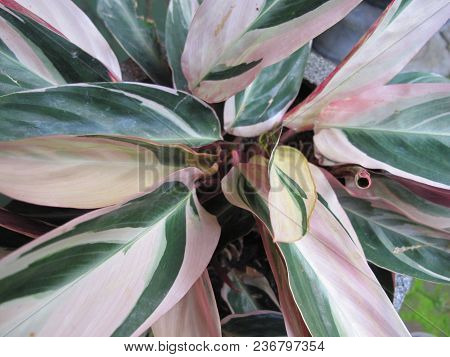 Tropical Plants, Green And White Colors Leaves Photography