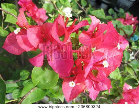 Tropical Plant, Beautiful Red Bougenville Flower Photography