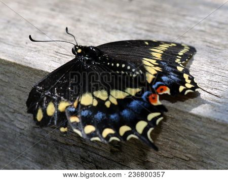 A Black Butterfly With Red, Yellow And Blue Spots On The Wings.