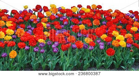 A Garden Of Brightly Colored Flowers Isolated On A White Background.