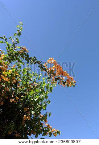 Orange Bougainvillea Vine Over Blue Sky Background, Copyspace