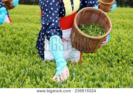 Japanese Women With Traditional Clothing Kimono Harvesting Green Tea Leaves On Farmland