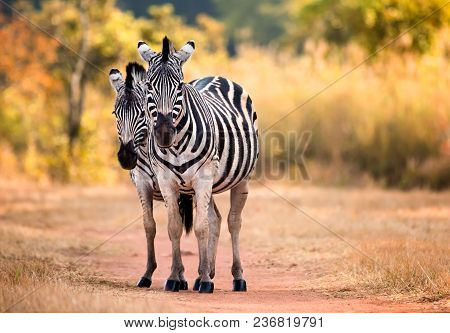 Two Zebra Standing On A Path In The Woodlands Of Swaziland