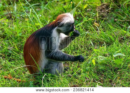 Close-up of baby of Zanzibar red colobus or Procolobus kirkii eats unripe leaves in Jozani forest, Tanzania poster
