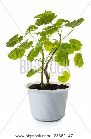 Geranium In A Pot Isolated On White Background