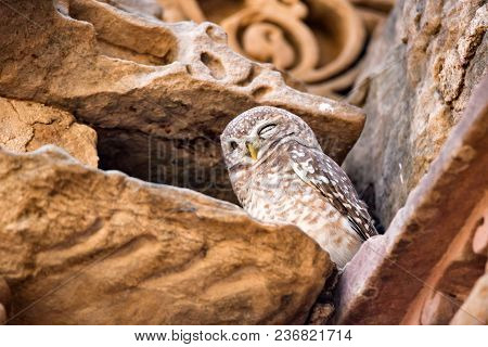 Spotted Owlet Or Athene Brama Perches On Stones Of The Ancient Temple