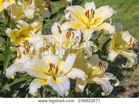 Flowering Yellow Lilies In A Summer Garden. Floral Background