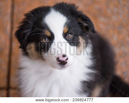 Australian Shepherd purebred puppy, 3 months old looking at camera - close-up portrait. Black Tri color Aussie dog, outdoors.