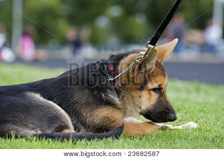 German Shepard puppy on a leash