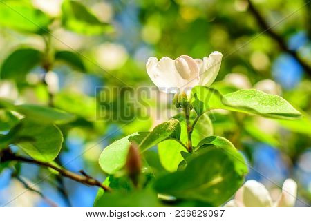 Beautiful Lush Quince Flower Blooming In Spring
