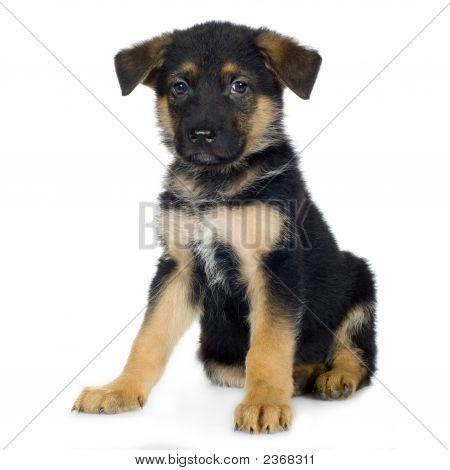 German Shepherd (7 Weeks) Alsatian, Police Dog