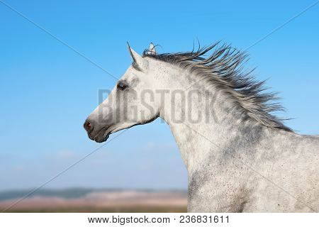 Arabian Stallion Portrait In Movement Over A Nature Background