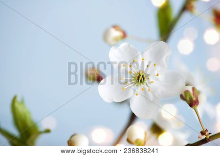 Spring Nature Background With Blossoming Apricot Flowers And Copy Space