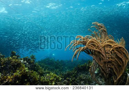 School Of Sardines Is Spinning Close To A Reef With A Soft Coral In A Foreground And Diver In A Back