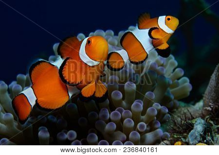 Couple Of Clownfish (western Clownfish (ocellaris Clownfish, False Percula Clownfish)) Are Protectin