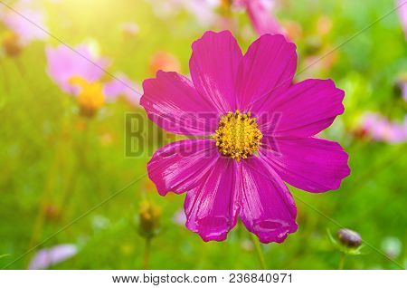 Pink Summer Cosmos Flower - In Latin Cosmos Bipinnatus - At The Summer Meadow, Selective Focus At Th