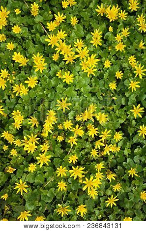 Nature floral background, Yellow marsh marigold (Caltha palustris) flowers at sunny spring day