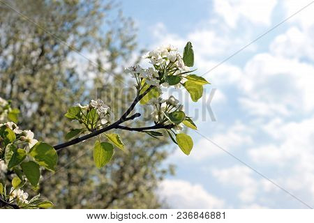 Branch Of A White Blooming Tree In Front Of Blue And White Sky, Back Lit