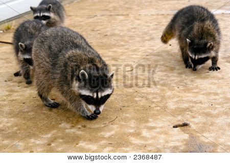 Hungry Coons