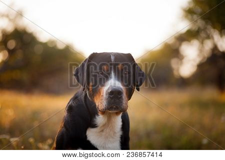 The Great Swiss Mountain Dog Sitting In The Grass And Breathes With His Tongue Hanging Out In Sunset